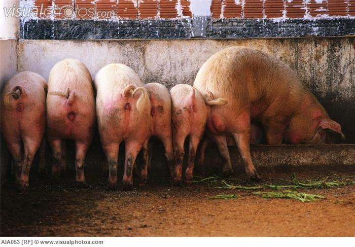 Hind Ends of Pigs at a Trough