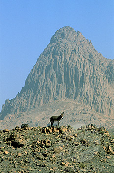 A donkey on a hill in the Assekrem mountains Algerian desert