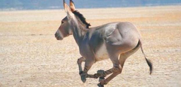 running_donkey